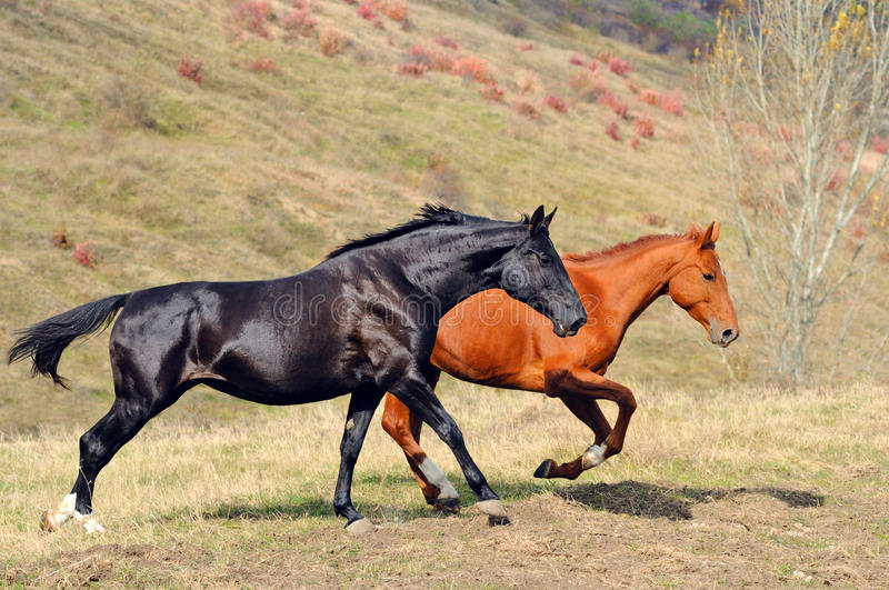 Download Two Horses Galloping In Field Stock Photo - Image: 16867654