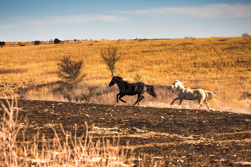 Two horses galloping stock photos