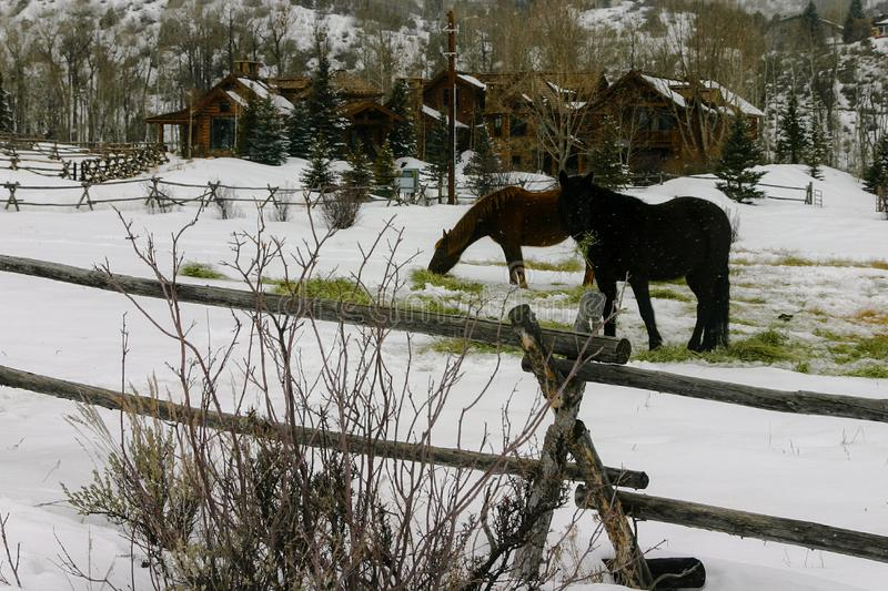Two horses grazing in a snowy field near Vail, Colorado stock photos