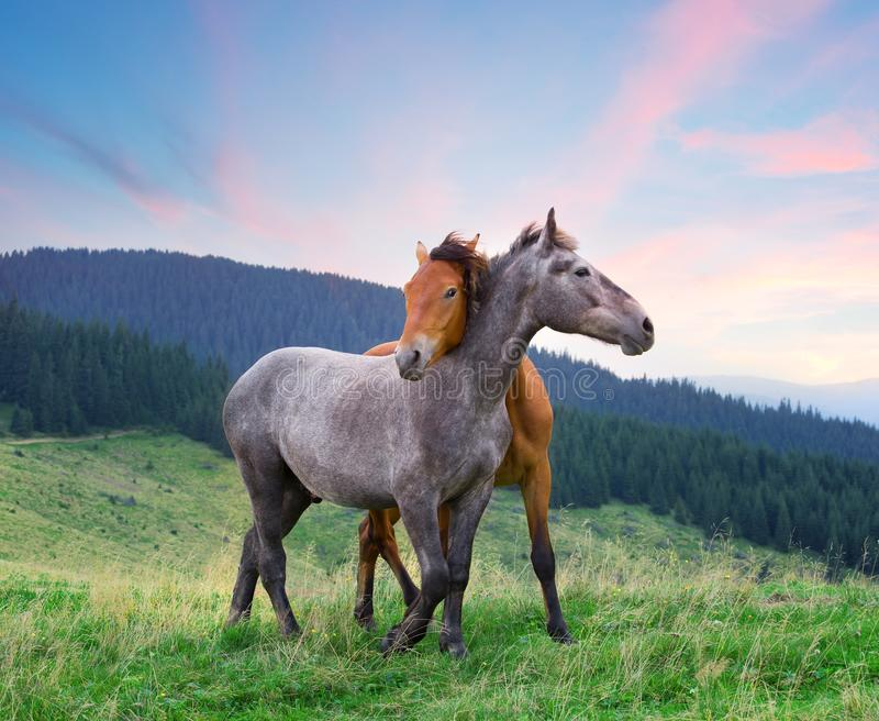 Two horses hugging under pink morning sky royalty free stock images