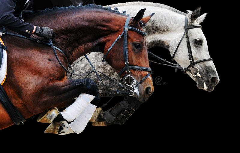 Two horses in jumping show, on black background. Isolated stock photos