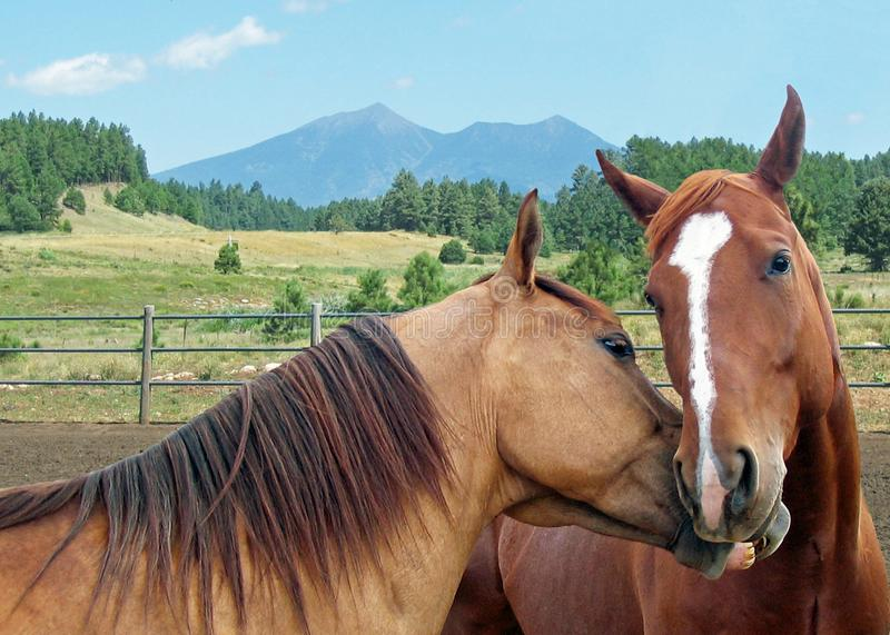 Two horses kissing. Two loving horses nuzzling in a corral with a field and mountains in the background stock photography