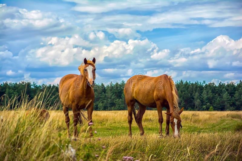 Two horses on the meadow stock photos