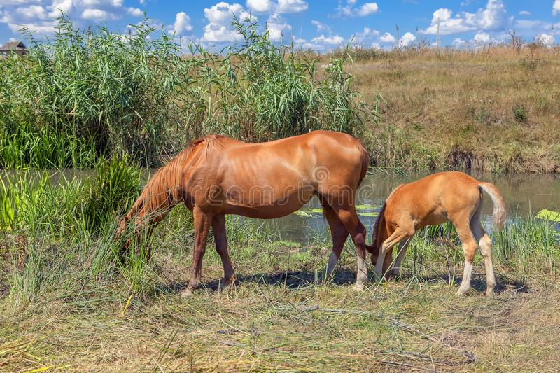 Two horses mother and baby royalty free stock image