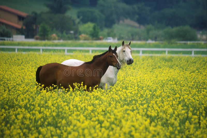 Two horses in mustard field, springtime, Ojai, CA stock images