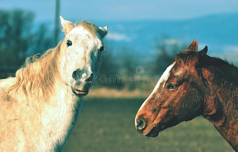 Two horses in the nature stock photos
