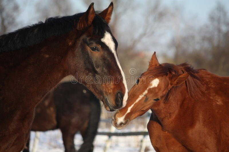 Two horses nuzzling each other royalty free stock photos