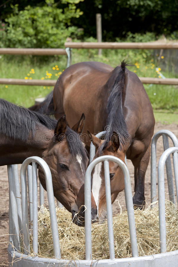 Free Two Horses On Hay Rack Royalty Free Stock Images - 55779399