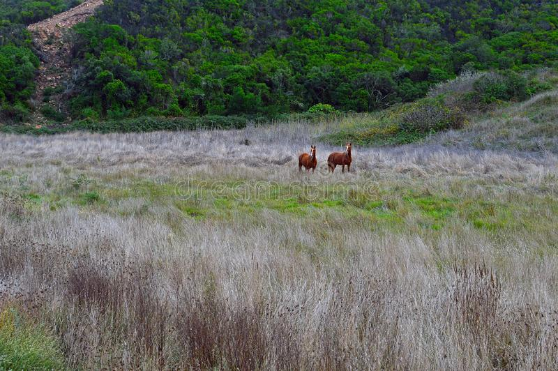 Two horses in open field with dry grass. Growing in the foreground stock image