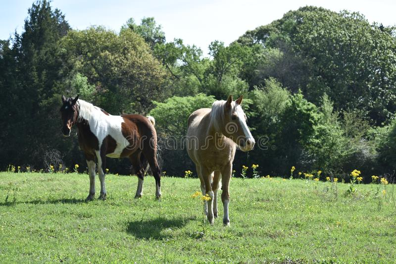 Two horses in an open field. Open field in the spring time with two horses royalty free stock images