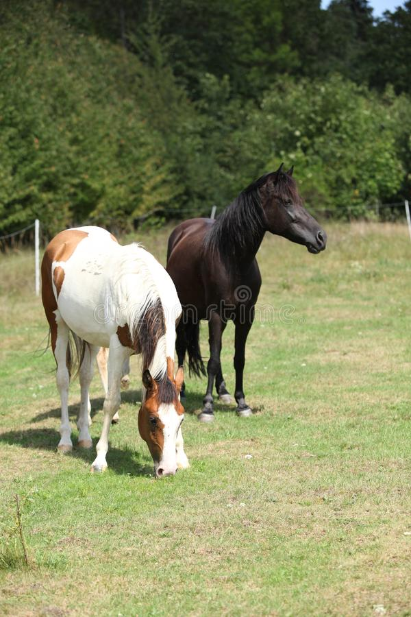 Two horses on pasturage. Two horses together on green pasturage in summer stock photos