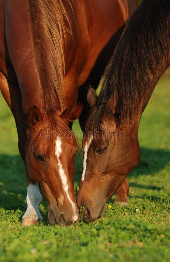 Download Two horses in pasture stock photo. Image of animal, graze - 22650472