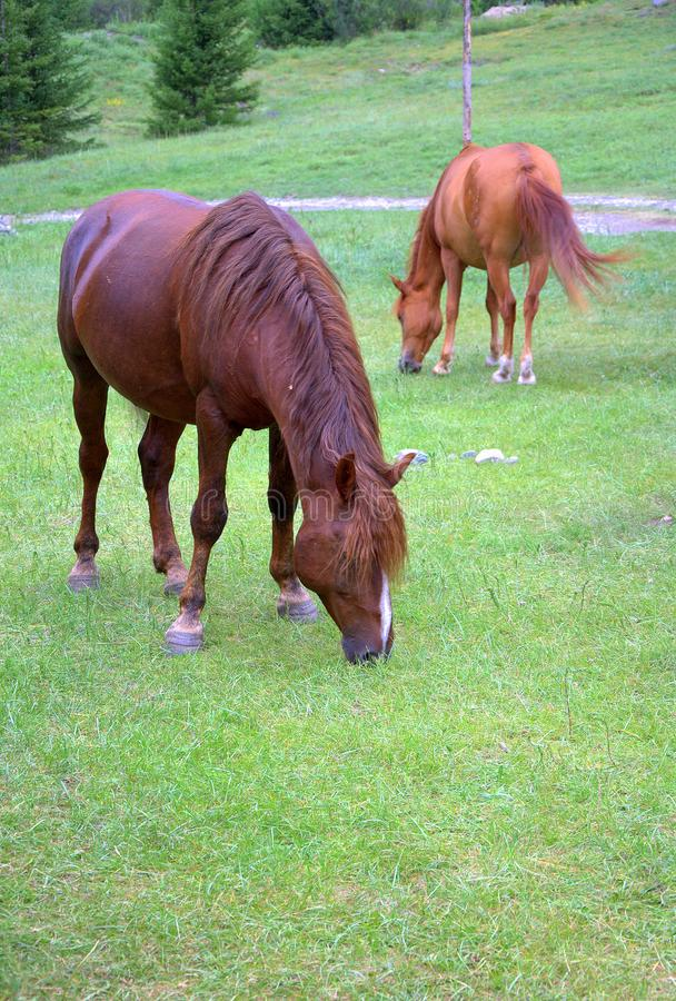 Two horses in the pasture eat fresh grass on the slope of hoolma. Republic of Gorny Altai, Russia. Landscape stock photos
