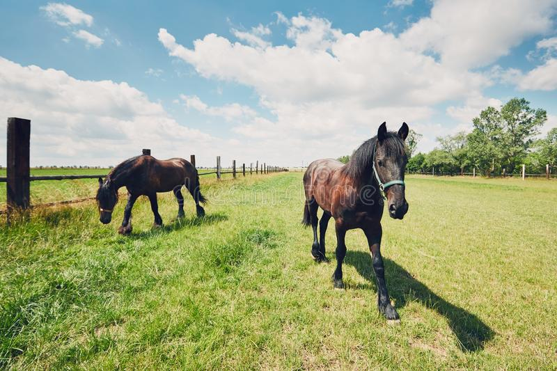 Two horses on the pasture royalty free stock photography