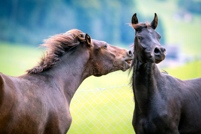 Two horses playing in pasture. royalty free stock image