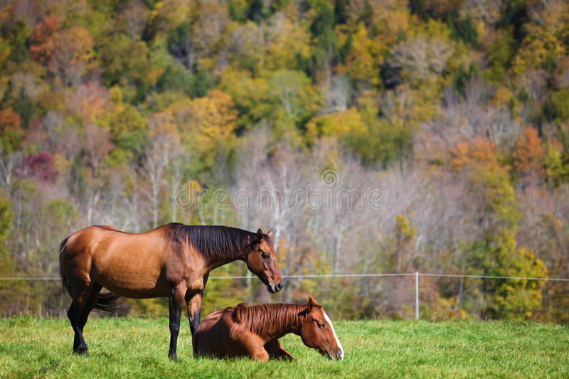 Two horses resting on meadow in Vermont autumn stock photo
