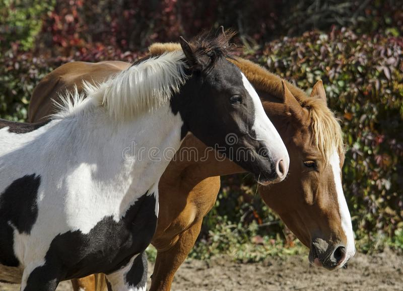 Two horses run on the background of colorful bushes royalty free stock photos