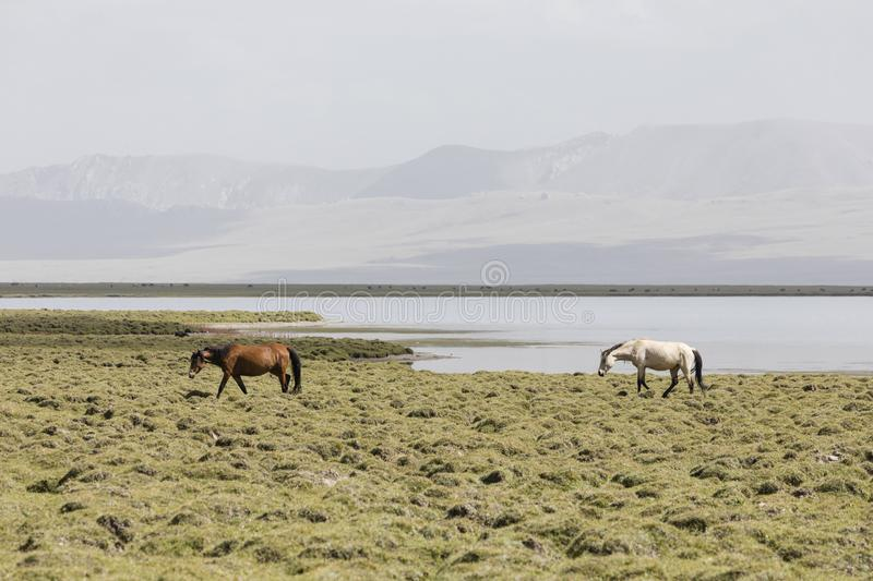 Two horses run from Song Kul lake in Kyrgyzstan towards Steppe. Central asia royalty free stock photos