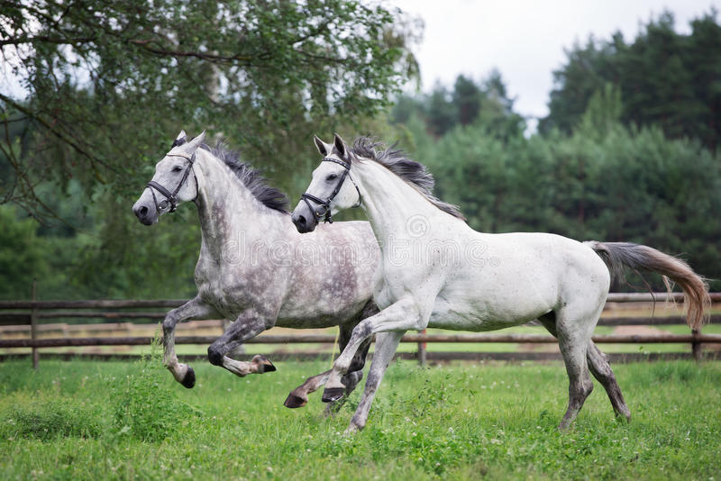 Two horses running on a field together royalty free stock image
