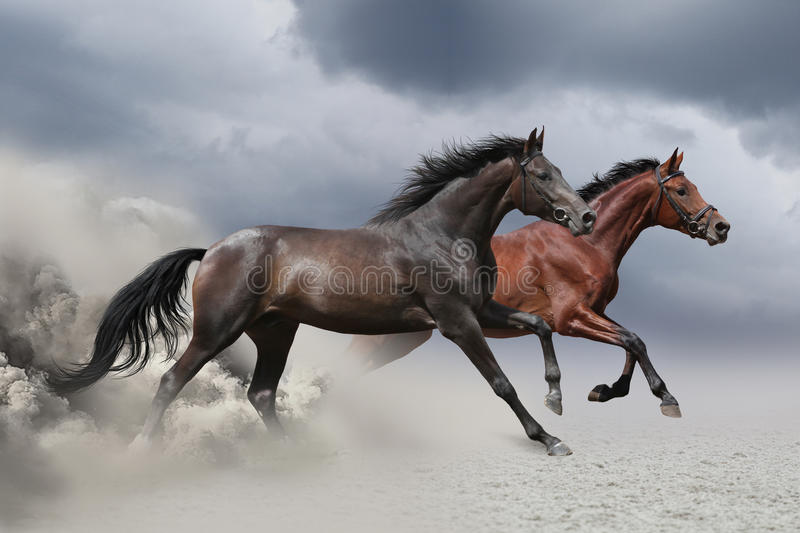 Two horses running at a gallop royalty free stock images
