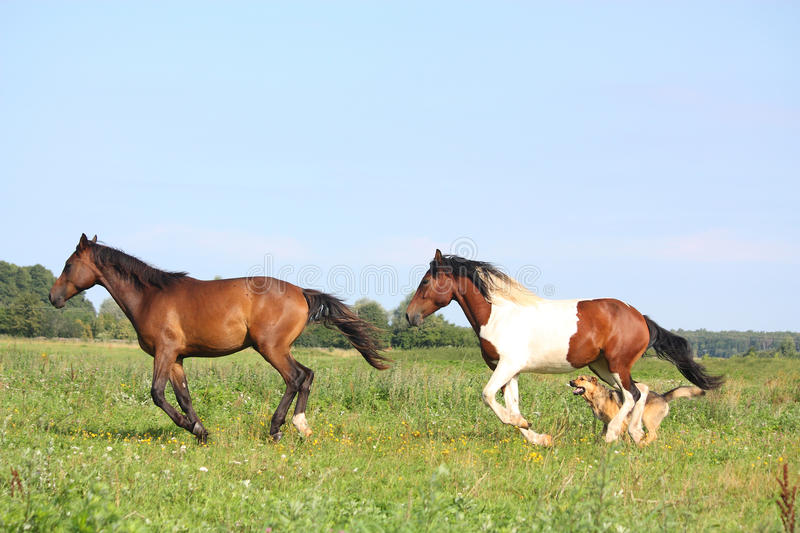 Two horses running at the pasture with dogs