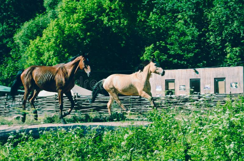 Two horses running royalty free stock images