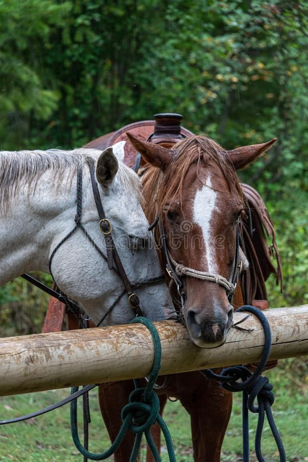 Two horses saddled and bridled up and taking a break from a trail ride, tied up to wood hitching posts in the rain royalty free stock photos