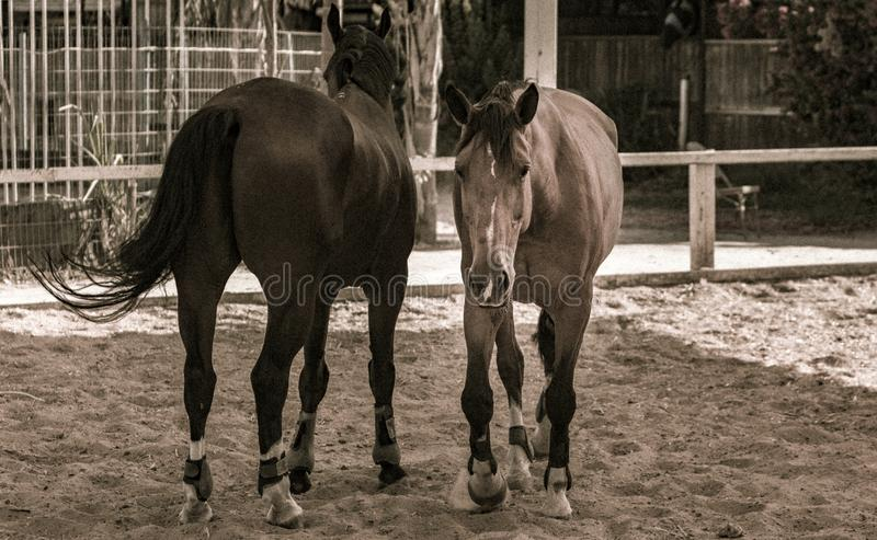 Two horses in sepia tones. Standing opposed of each other royalty free stock photos