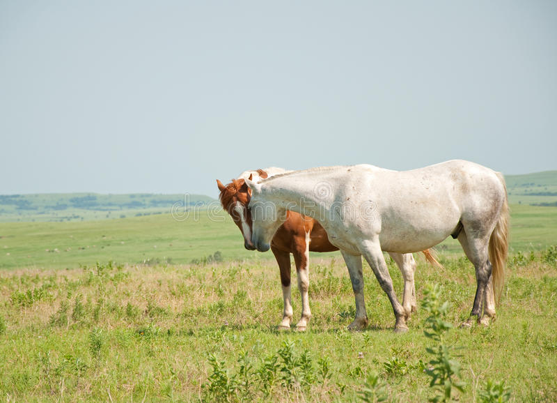 Two horses sniffing noses in a prairie pasture stock image