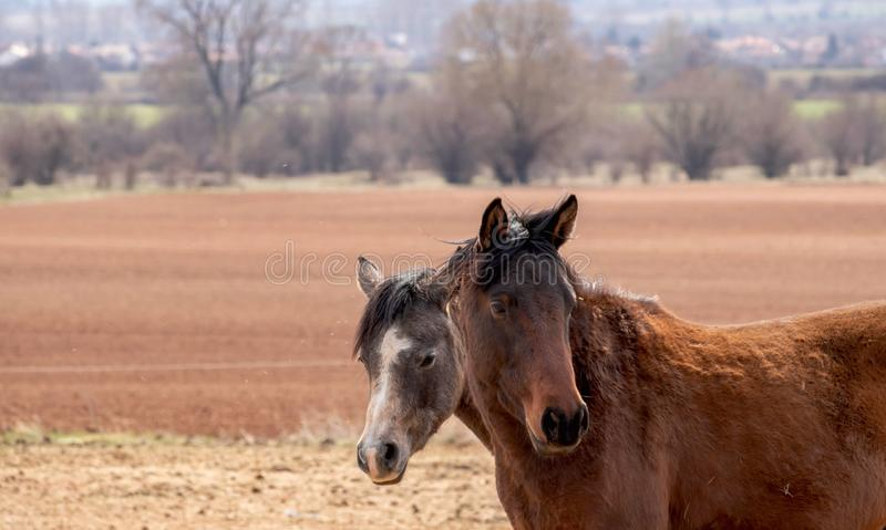 Two horses stand in a brown autumn  field close to each other, two horse heads are close up stock photos