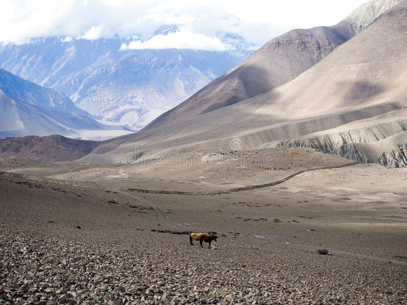 Two horses standing on terrain and the snow mountain at distance stock images