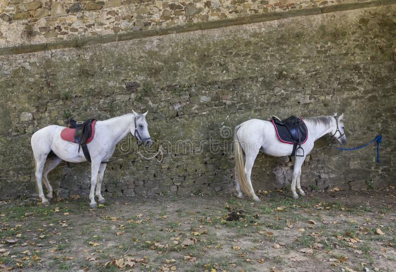 Two horses tied on a wall in Lastra a Signa. LASTRA A SIGNA, ITALY - AUGUSt 30 2015: two horses tied on a wall in Lastra a Signa, Italy royalty free stock image