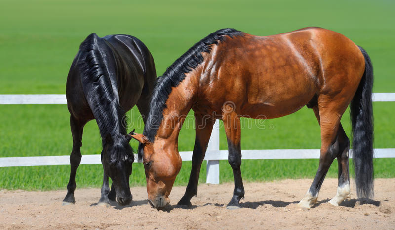 Two horses walk on manege royalty free stock photography