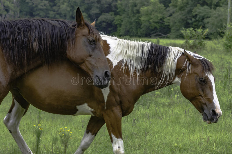 Two horses walking in a pasture stock photography