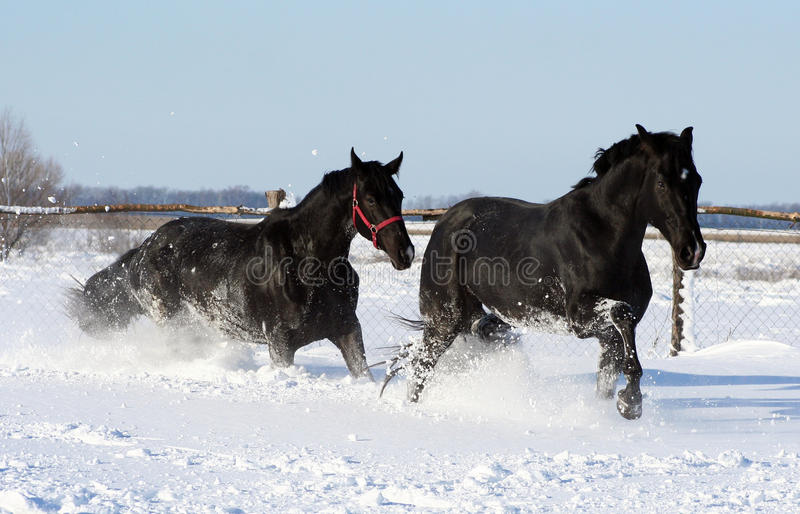 Two horses in the white snow royalty free stock photo