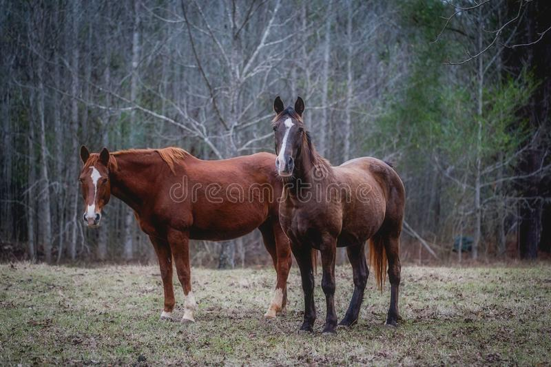 Two horses in the woods stock photography