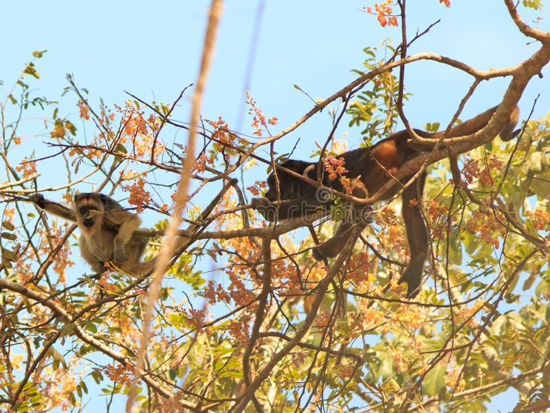 Two Howler monkeys high in the canopy of a tree with a clear blue sky royalty free stock photos