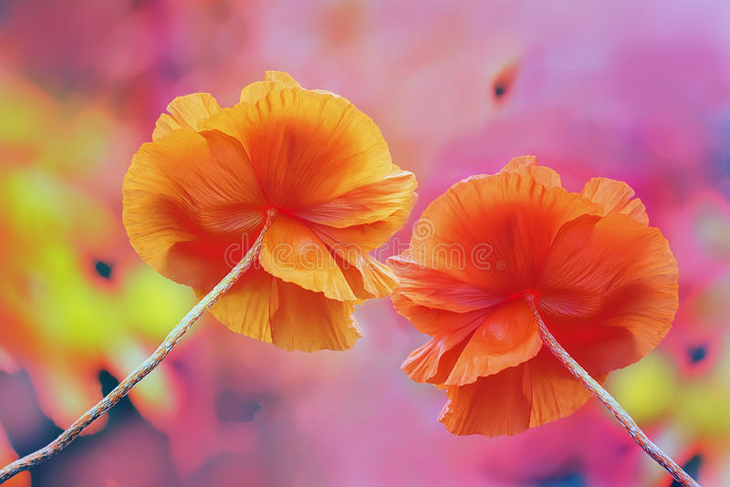 Two huge red poppy flowers on a very colorful multicolored bright background. stock photo