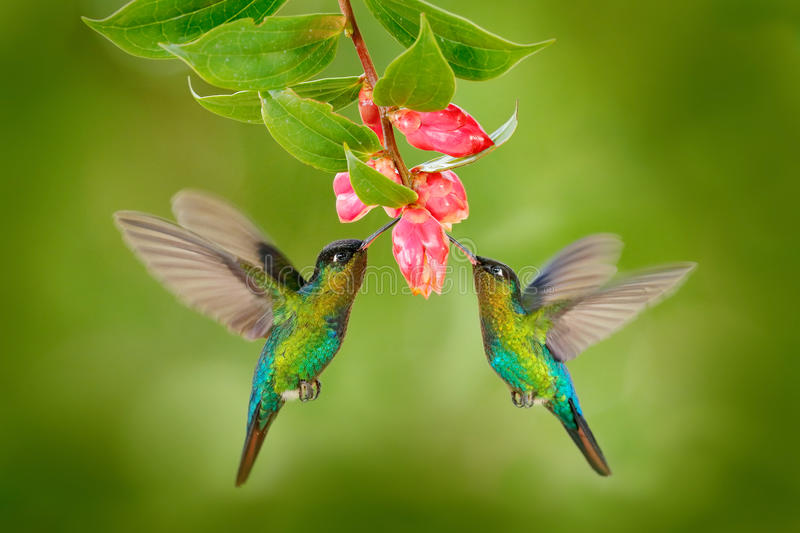 Two hummingbird bird with pink flower. hummingbirds Fiery-throated Hummingbird, flying next to beautiful bloom flower, Savegre, Co stock photo