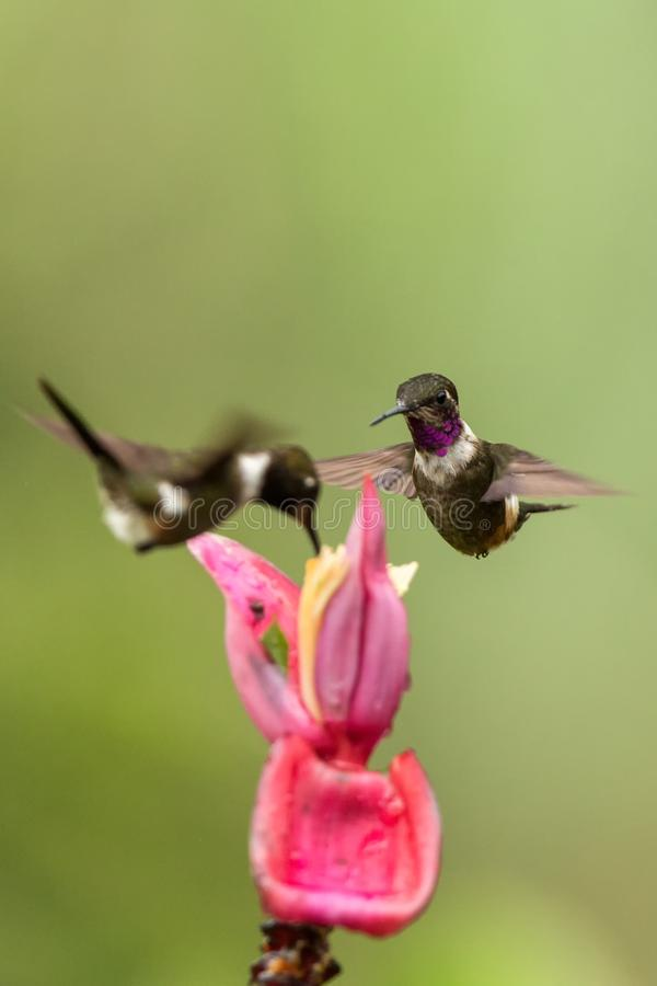 Two hummingbirds hovering next to pink flower,tropical forest, Colombia, bird sucking nectar from blossom. In garden,beautiful hummingbird with outstretched royalty free stock images