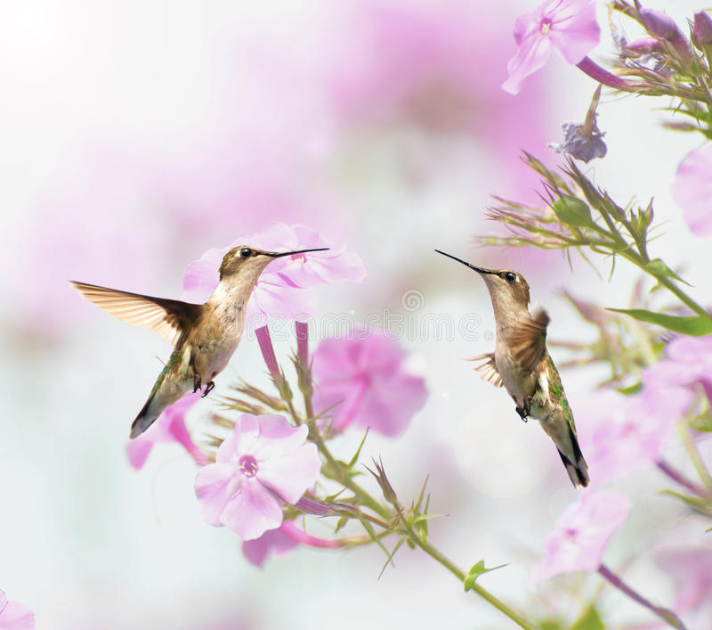 Download Two hummingbirds inmotion. stock image. Image of wild - 20689769