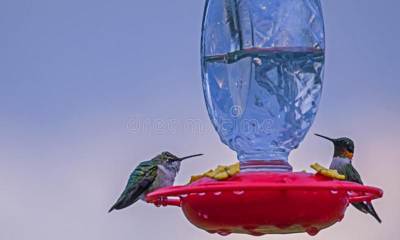 Two hummingbirds sitting on a feeder stock images