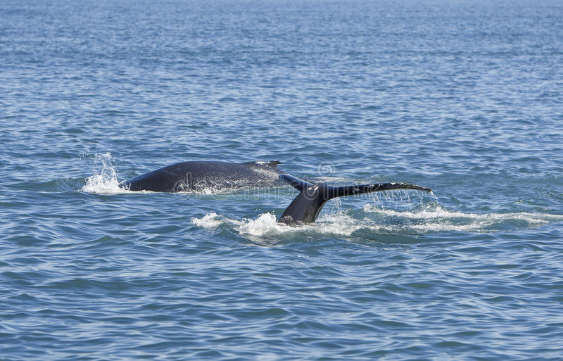 Download Two Humpback Whales stock image. Image of diving, blue - 10860005