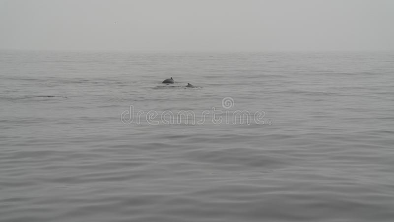Two humpbackwhales swimming together. A picture of two humpbackwhales swimming together who only show there backs taken during a boating trip for whale watching royalty free stock photography