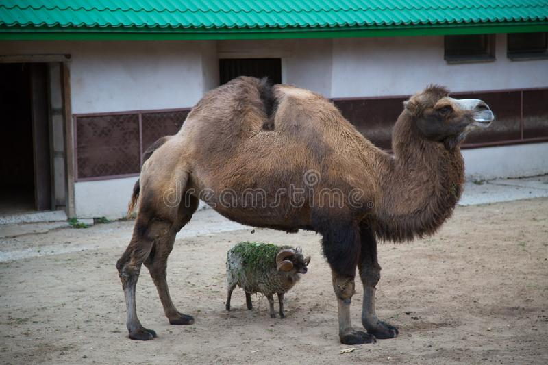 Two-humped camel, Camelus bactrianus,  stands with a small lamb in the zoo enclosure. Wildlife, mammals. Fauna stock photo