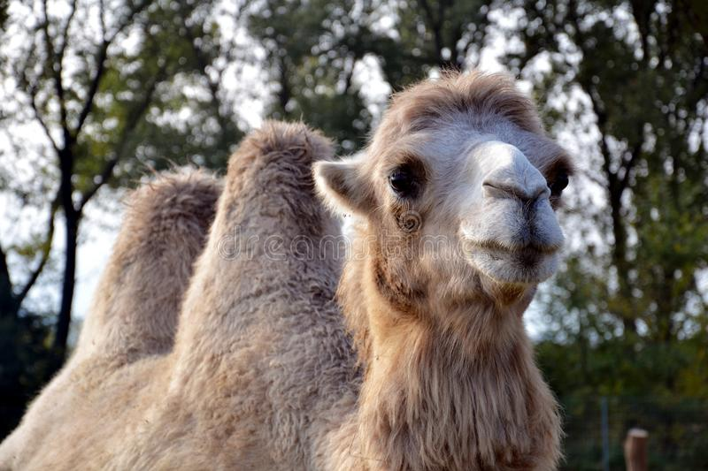 Two-humped camel stock image