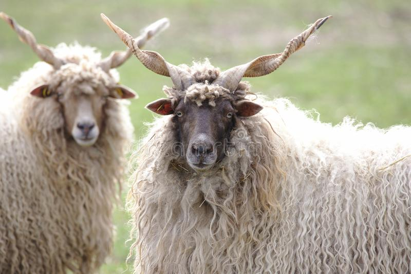 Two hungarian racka sheep looking into the camera royalty free stock photography