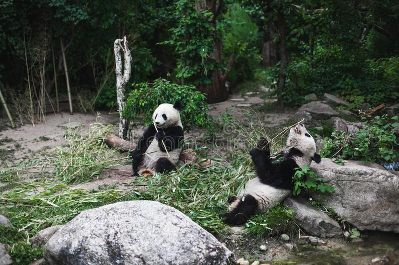Two Hungry giant panda bear Ailuropoda melanoleuca eating bamboo leaves lying near stone on bank of the reservoir Wildlife animal royalty free stock photo
