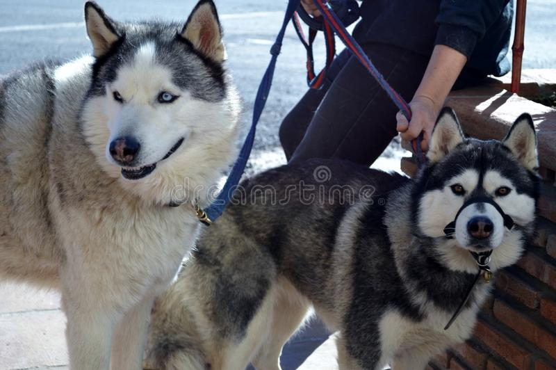 Download Two Huskies Stock Photography - Image: 37487892