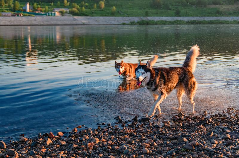 Two husky dogs play and run in shallow water, outdoors, friendship, relationship, together. Sunny warm summer evening in park. stock photography